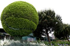 New balls please..A grass cutting of a tennis ball at The Championships.