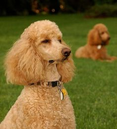 We named the Poodle Peace Parade in honor of our late, great standard poodle, Hansie. The poodle is on the list of Best Dog Breeds for People with Allergies or Asthma. Best Dog Breeds, Best Dogs, Pet Breeds, Apricot Standard Poodle, Standard Poodles, Dressage, I Love Dogs, Cute Dogs, Red Poodles