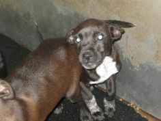 Orca Trio is an adoptable Terrier Dog in Chipley, FL. This is the female, she has more white on her chest and legs. She is just as cute and sweet as her male siblings. They are about 10 weeks old. ...