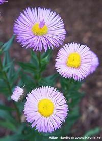 Erigeron speciosus 'Rosa Juwel' - turan Perennials, Seasons, Plants, Seasons Of The Year, Plant, Perennial, Planets