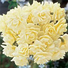 Summer Daffodil