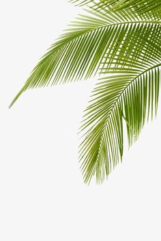 Coconut leaves PNG and Clipart Leaves Wallpaper Iphone, Plant Wallpaper, Palm Tree Leaves, Plant Leaves, Palm Tree Png, Fall Leaves, Coconut Tree Drawing, Image Jesus, Coconut Leaves