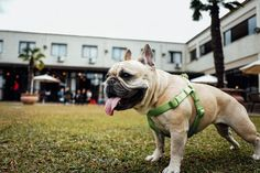 Where are our bulldog lovers? Are you thinking about adding an American Bulldog to your family? Learn more about how to choose the right dog for your family before you do! Learning French For Kids, Emotional Support Animal, Toddler Learning Activities, Nutrition, Dog Park, Dog Life, Dog Pictures, Pet Care, Dog Training