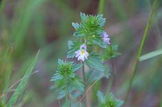 Euphrasia officinalis, ゴマノハグサ科 June 2015