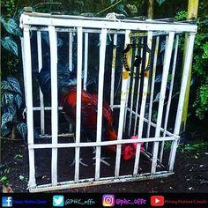 PHC Saluyu Ngawangun Jati Mandiri Salam Hormat Kami  Pelung Hobbies Cimahi #PHC #pelunghobbiescimahi #pelung #ayampelung #ayamlokal #purwadaksi #sunda #hobby #endemik #jawabarat #unggas #budaya #rooster #chicken #backyard #infocimahi #cimahicity #cimahipunya #cimahibanget #anniv2nd #garut #infogarut #sekitargarut #tasikmalaya #ciamis #banjar Foto Pelungers Cimahi.