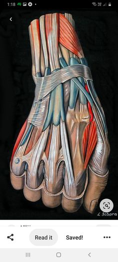 Hand Anatomy, Anatomy Study, Anatomy Drawing, Anatomy Reference, Human Anatomy Art, Wrist Anatomy, Human Muscle Anatomy, Anatomy Park, Hand Reference