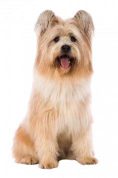 Elo blond Rassebeschreibung Flat Coated Retriever, Norwich Terrier, Cavalier King Charles Spaniel, Labrador Retriever, Labradoodle, Elo, Teddy Bear, Dogs, Animals