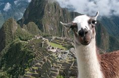 Lama photobomb! :D  (Never miss a chance to be silly!)    (Machu Picchu, by Piratepenpen, via Flickr)