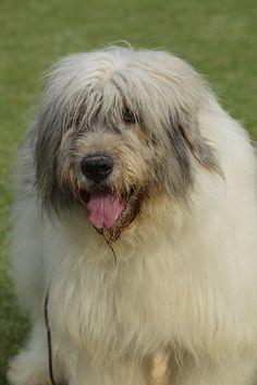 Ciobanesc Romanesc Mioritic. Big Dogs, Dogs And Puppies, Pyrenean Mastiff, Spanish Mastiff, Unusual Dog Breeds, Swiss Mountain Dogs, Giant Schnauzer, Lurcher, Pet Stuff