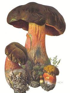 Boletus erythropus FR. by Claus Caspari (1962)