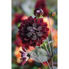 Its stems are as black as its beautiful velvet flowers...incredible. The Karma group have also been bred for use as a cut flower and in general have a better vase life than other dahlias.
