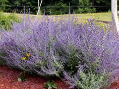 Hardy Hibiscus and Russian Sage - Knecht's Nurseries & Landscaping