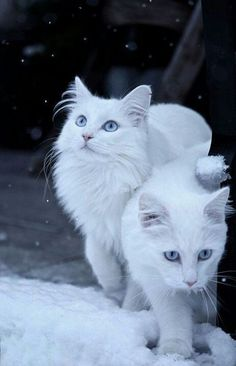 White cats in the snow.  Beautiful!