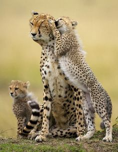 Cheetah: Against All Odds - Top Documentary Films National Geographic In this beautiful documentary we track two cheetah mothers, both with different fate, as they fight to raise their offspring against all the odds. of the film Nature Animals, Animals And Pets, Baby Animals, Funny Animals, Cute Animals, Small Animals, Wild Animals, Big Cats, Cats And Kittens