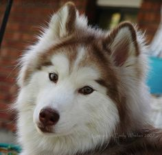 I also want this dog! Someone buy me a farm please! Wooly Red Husky