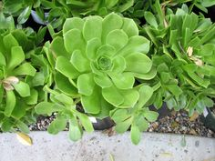 Aeonium Jolly Green