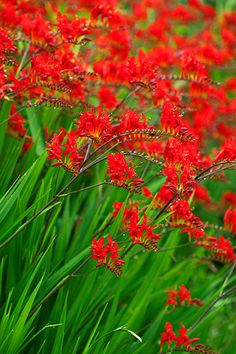 From midsummer until early fall, Montbretia (Crocosmia masoniorum) produces orange-red flowers and tolerates partial shade. Heat-loving 'Lucifer' (shown) has pleated, strappy green leaves with scarlet-red blooms that face up on arching stems. It grows up to 4 feet tall and 2 feet wide, naturalizing in Zones 6–9. Avoid C. x crocosmiiflora hybrids, which can become invasive.