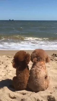 Puppies Gif, Toy Poodle Puppies, Cockapoo Puppies, Goldendoodles, Cavapoo, Super Cute Puppies, Cute Dogs And Puppies, Cute Puppy Videos, Funny Animal Videos