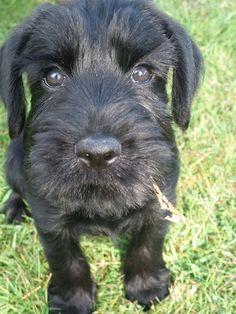 Puppy.Black Standard Schnauzer