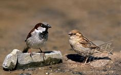House Sparrows - male and female. Seen at the feeders often in the summer.