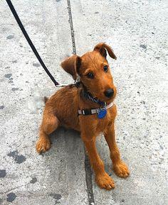 Irish Terrier- maybe someday Wire Fox Terrier, Terrier Dogs, Terriers, Scottish Deerhound, Irish Terrier, Irish Wolfhound, Dog Shedding, Irish Setter, Dog Boarding