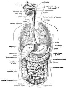 Which Of The Following Is An Accessory Organ Of Digestion 615 Best Digestive System Images On Pinterest  Nursing Students