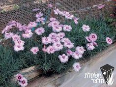 """ציפורן אלפיני Dianthus alpinus משפחה:משפחת הציפורניים - Caryophyllaceae מוצא:שוויץ עד יוון ורוסיה גובה:10 ס""""מ מרווחי שתילה:30 ס""""מ"""