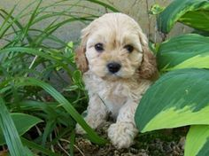 cavoodle puppies - Google Search