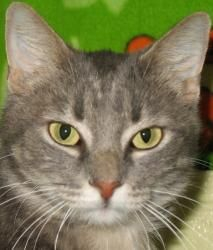 Polly is an adoptable adult spayed female Domestic Short Hair cat in Madison, WI.
