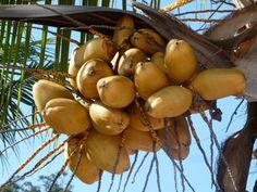 Coco, fruta brasileira.
