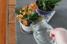 """""""Calandiva"""" kalanchoe (Kalanchoe blossfeldiana """"Calandiva""""), a cultivar developed in the Netherlands, flowers for six full weeks in late winter and early spring. You can grow it outdoors in U.S. Department of Agriculture plant hardiness zones 10 through 12   or as a houseplant in colder climates. """"Calandiva"""" gets along..."""