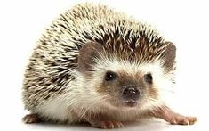 Image result for baby hedgehogs