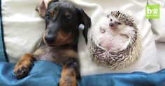 """Pet Hedgehog Finds Puppy Love   TheAnimalRescueSite.com   """"Meet a family that will win your heart with their unconventional love story. Minnie, the hedgehog, adores her two doggy best friends, Maya and Peanut. These three do everything together, from shopping to mealtime. They even dress up together. Awwwww!"""" Click to read and share the full article with cute video (1:24). 9/17"""