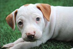 SNICKERDOODLE: Pit Bull Terrier, Dog; Elizabethtown, PA