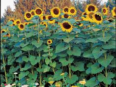 """""""Giant"""" is the right name for these sunflowers, which shoot up to 14 feet in height and have bright yellow faces that measure up to a foot across. Try them as a hedge or border to block an unwanted view. They're among the tallest of the sunflowers."""