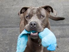 ~~STUNNING 1 YR OLD LITTLE BOY TO BE DESTROYED 8/9/14~~PUPPY ALERT!! Manhattan Center -P My name is TYSON. My Animal ID # is A1008869. I am a male gray pit bull. The shelter thinks I am about 1 YEAR I came in the shelter as a OWNER SUR on 08/01/2014 from NY 10467, owner surrender reason stated was COST. I came in with Group/Litter #K14-188353.