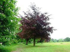 Copper beech (Fagus sylvatica f. purpurea)