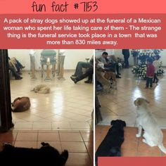 Stray dogs show up to a funeral of a woman that cared of them - WTF Fun Fact aww :) looks like they miss their mamma cute and sad Wtf Fun Facts, Random Facts, Strange Facts, Crazy Facts, Funny Facts, Random Stuff, Funny Jokes, Funny Animals, Cute Animals