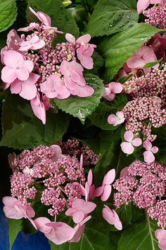 Twist-N-Shout is an exciting new variety of Hydrangea from the Endless Summer Collection. The Twist-N-Shout will re-bloom large beautiful lace cap blooms all summer long. Endless Summer Hydrangea, Hydrangea Not Blooming, Twist And Shout Hydrangea, Easy To Grow Houseplants, Butterfly Plants, Hydrangea Macrophylla, Spring Shower, Perfect Plants, Pink Blossom