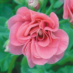 Geranium 'Pink Sybil' - Best in class - Thompson & Morgan