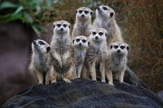 Image Of Meerkat Animals Africa Zoo Lazy - http://www.petandanimals.com/image-of-meerkat-animals-africa-zoo-lazy/