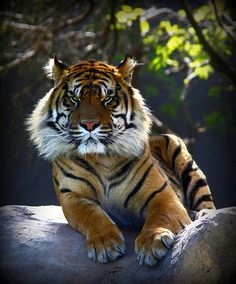 Bengal tiger.  Look at the huge fur ruff this one has!! Magnificent animal.