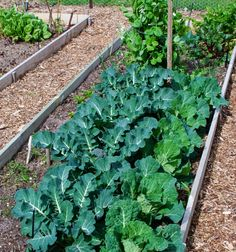 Ph requirements for different plants: Cabbage family crops that share similar soil pH requirements growing together.