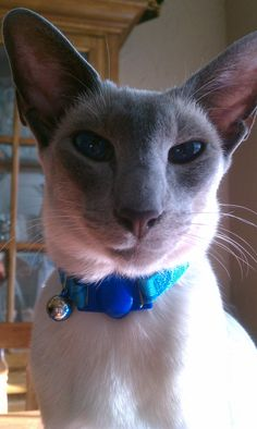 My handsome blue point siamese cat, Remy :)