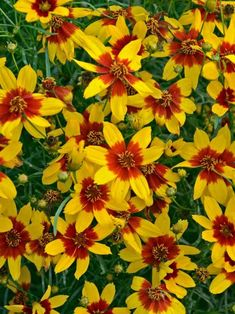 Coreopsis Curry Up (Tickseed) Bold and vibrant, the bright yellow flowers with deep red/orange centers dazzle even from a distance. Compact, rounded habit is covered in flowers all summer. It spreads slowly but surely and can be used in a naturalized planting on a sunny bank or a traditional border. Lovely paired with Echinacea or Campanula. Road salt tolerant. Learn more at: https://www.bluestoneperennials.com/COCU.html