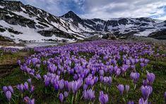 crocuses-mountains-spring-rila-mountain-meadow-flowers