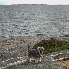 Minnie: with my human on the coast of Gulf of Botnia. Miniature Schnauzer, Coast, Sea, Animals, Instagram, Animales, Animaux, Mini Schnauzer, Ocean