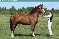 Estonian Draught - gelding Veron II