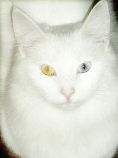 khao manee cat...love their eyes so cool