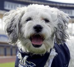 hank brewers dog | Milwaukee Brewers adopt Hank Aaron | www.ajc.com